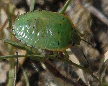 Small green bug ID? - Chinavia hilaris