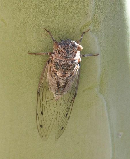 Diceroprocta arizona - female