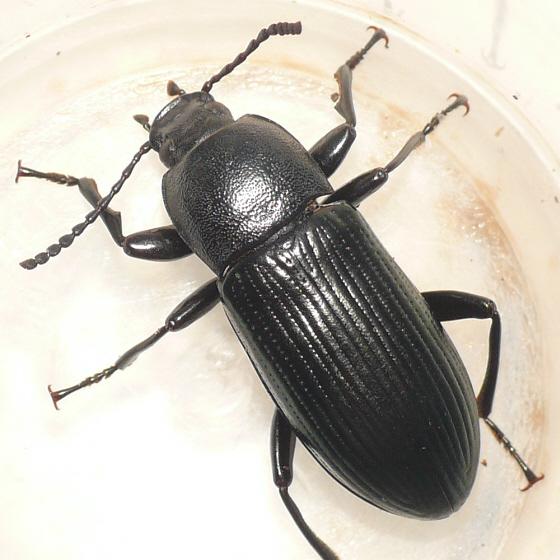 Darkling beetle (3) - Centronopus calcaratus - male