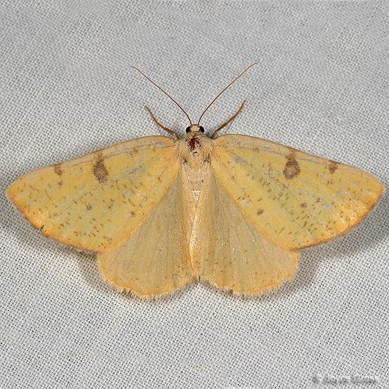moth - Hesperumia sulphuraria - female