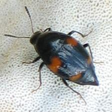 small black Shining Fungus Beetle with four orange spots - Scaphidium quadriguttatum