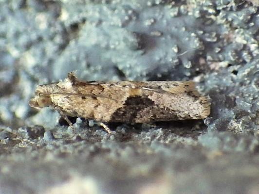 Tortricidae: Argyrotaenia mariana - Argyrotaenia mariana
