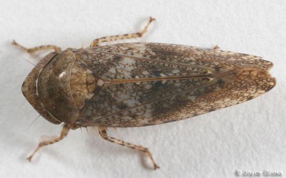 leafhopper - Paraphlepsius