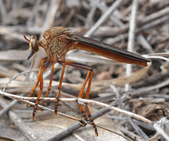 Robber Fly - Diogmites sallei