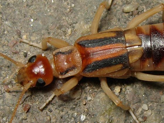 Striped earwig - Labidura riparia - male