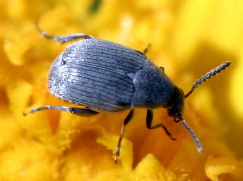 Beetle - Acanthoscelides aureolus