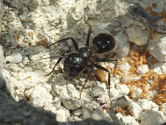Carpenter Ants - Camponotus laevigatus