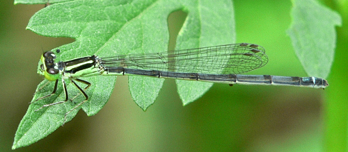 Eastern Forktail - Ischnura verticalis - female