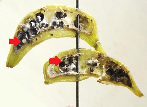 Cecidomyiidae, Diervilla fruits - Asphondylia