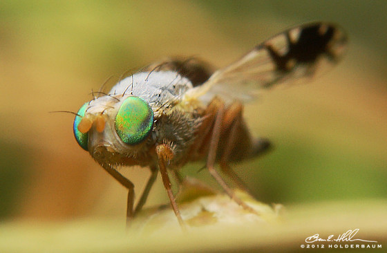 Fruit Fly - Trupanea vicina - female