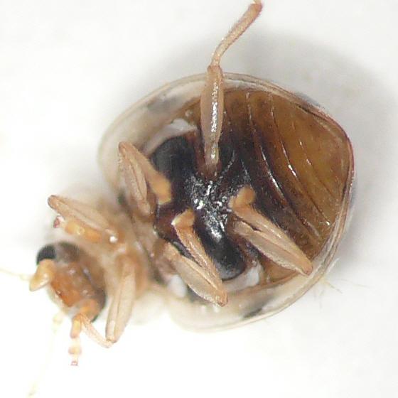 Lady beetle 10.06.26 - Psyllobora vigintimaculata