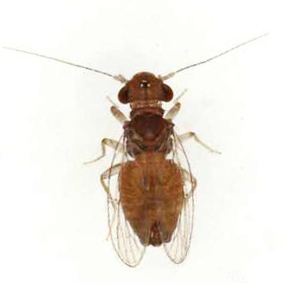 Rhyopsocus eclipticus - male