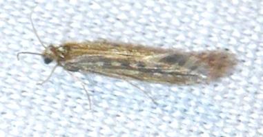 Family Hydroptilidae