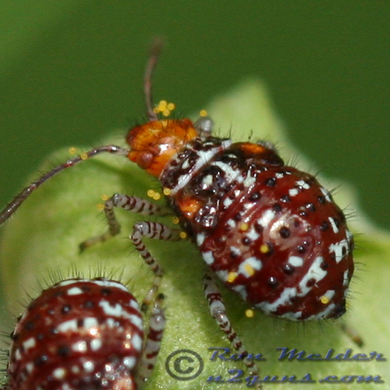 Scentless Plant Bug Nymph - Niesthrea louisianica