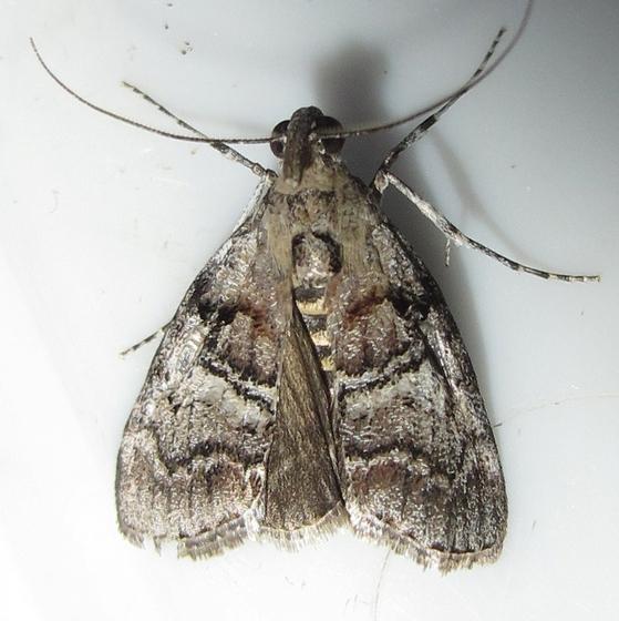 Hodges #5606 - Maple Webrorm Moth - Pococera asperatella - male