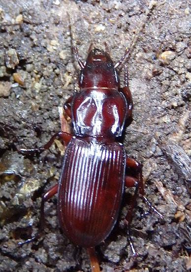 red beetle - Pterostichus