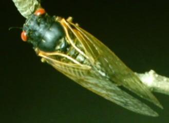 Magicicada Cassini Straggler - Magicicada cassinii - male