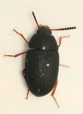 Tenebrionid - Platydema nigratum