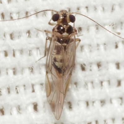 Common Barklouse - Blastopsocus variabilis