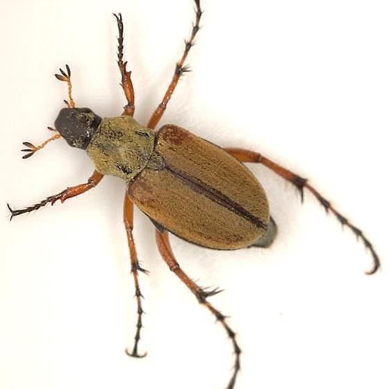 Macrodactylus sp. - Macrodactylus