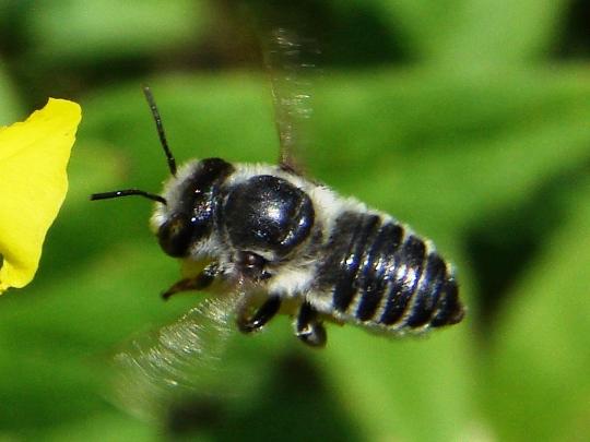 Megachile with a taste for primrose - Megachile brevis - female