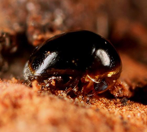 Coleoptera - Cybocephalus nipponicus