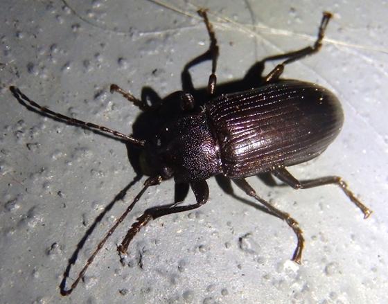 darkling beetle - Tarpela undulata