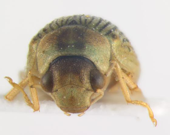 Hydrophilidae, head - Berosus aculeatus