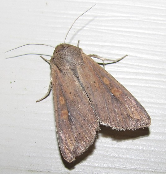 Armyworm Moth - Mythimna unipuncta