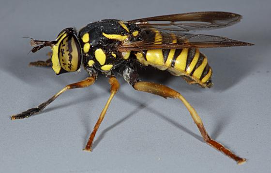 Utah-syrphid - Spilomyia liturata