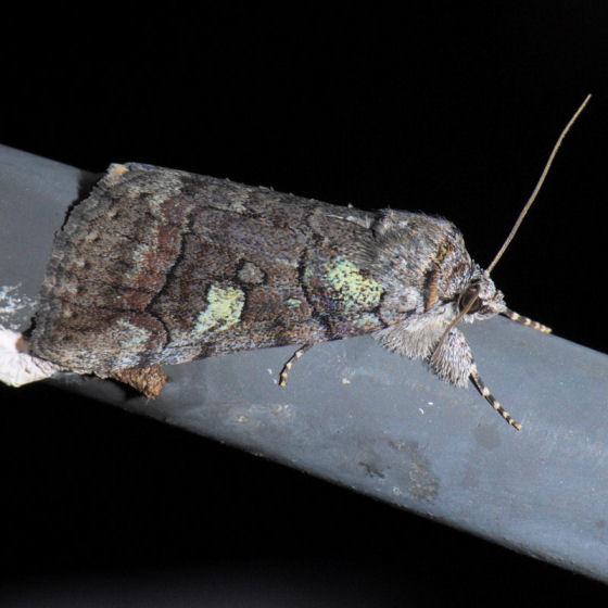 8873 - Similar Underwing - Catocala similis