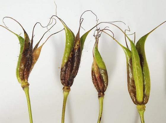 Agromyzid in developing columbine fruits - Phytomyza krygeri