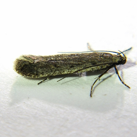 Filatima albicostella - Hodges #2128 - Filatima albicostella