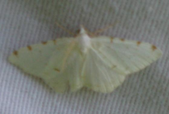 Lesser Maple Spanworm Moth - Speranza pustularia