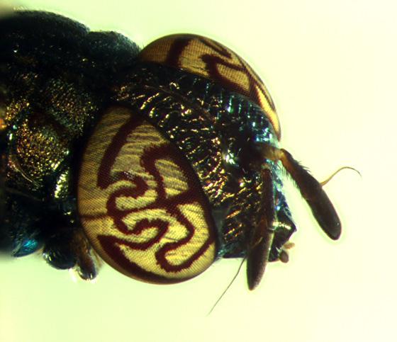 Syrphidae, Orthonevra nitida (beautiful eyes) - Orthonevra nitida - female