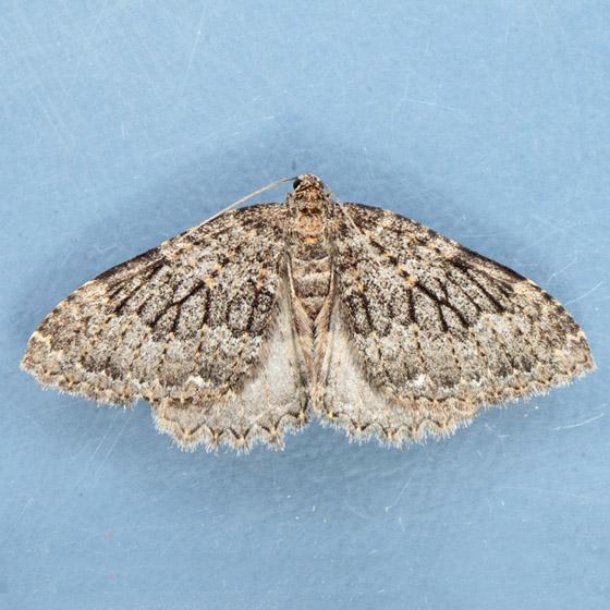 Moth for ID - Triphosa californiata