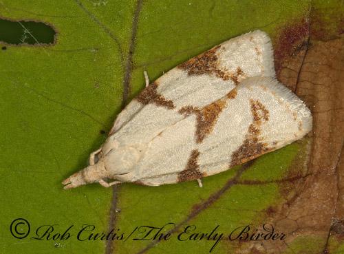 3013443 moth - Cenopis karacana