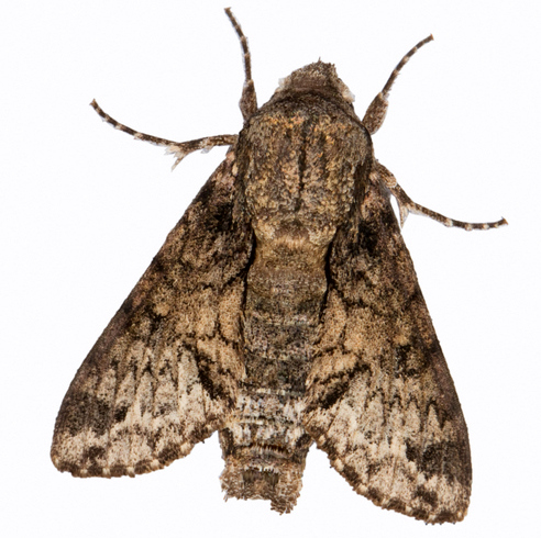 Spurious Sphinx Moth - Hodges #7868 - Cautethia spuria
