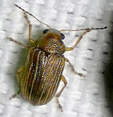leaf beetle - Colaspis