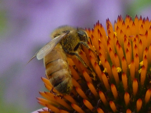 Bee on Cone Flower - Apis mellifera