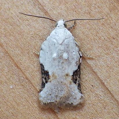 Tortricidae: Acleris forbesana? - Acleris