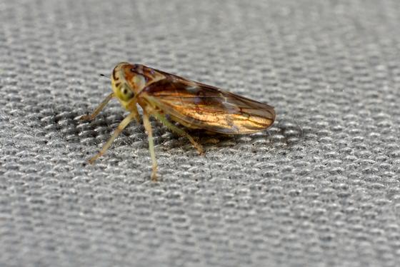 Planthopper - Idiocerus formosus