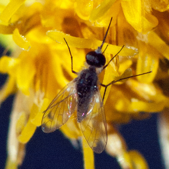 ID for a bee fly? - Geron