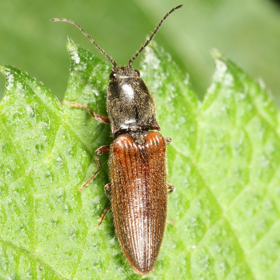 Brown and black click beetle - Hemicrepidius hemipodus