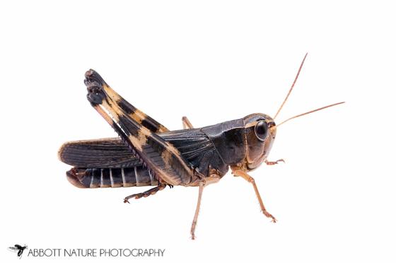 Acrididae - Boopedon gracile - male