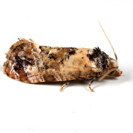 Hoffman's Cochlid - Cochylis hoffmanana