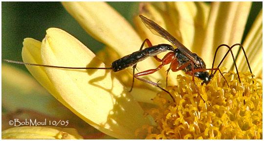 Ichneumon wasp - Lissonota - female