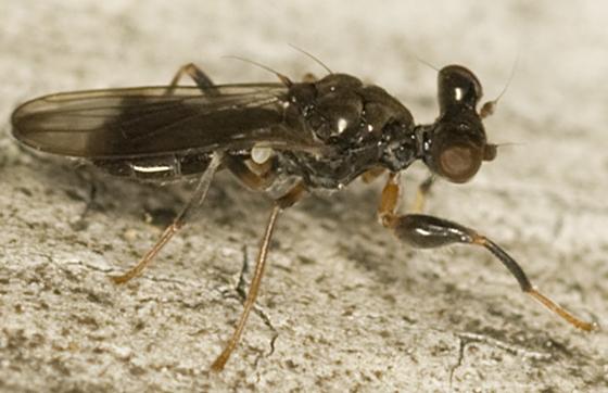 Stalk-eyed Fly - Sphyracephala brevicornis