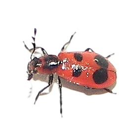 4-spotted Checkered Beetle - Pelonides quadrinotata - female