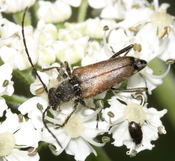 Flower Longhorn - Anastrangalia sanguinea